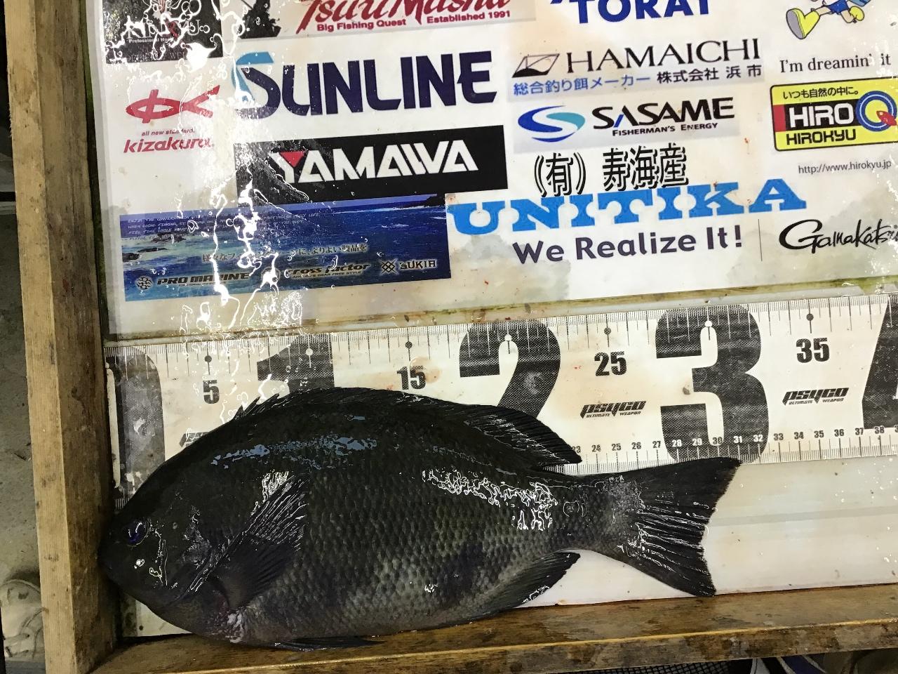 1/3 つよっさん様 第2回グレダービー2020釣果(串本沖磯)31.2cm