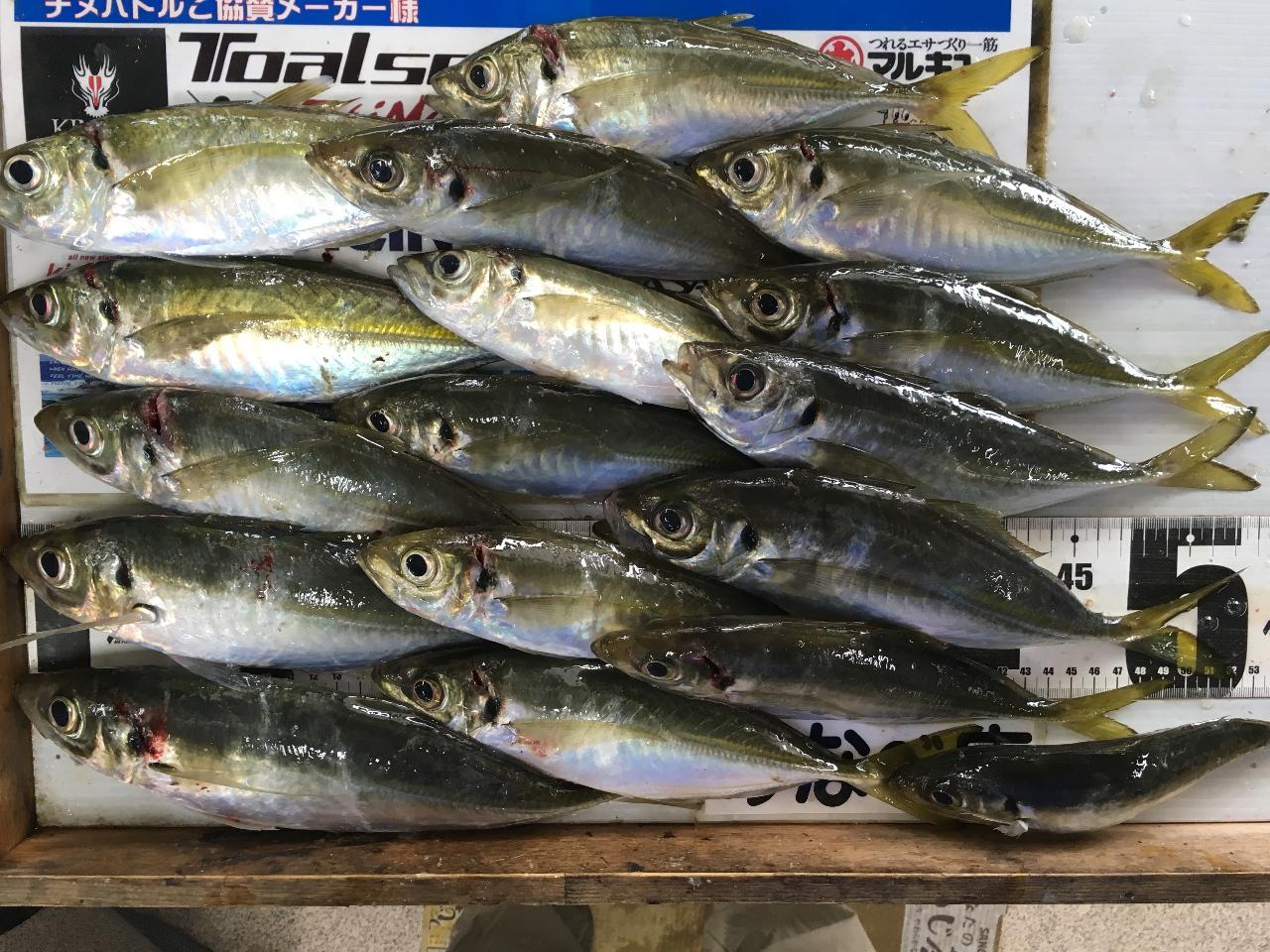 1/25M村ノリオ様 加尾漁港でアジ 32.5cmを頭に18尾