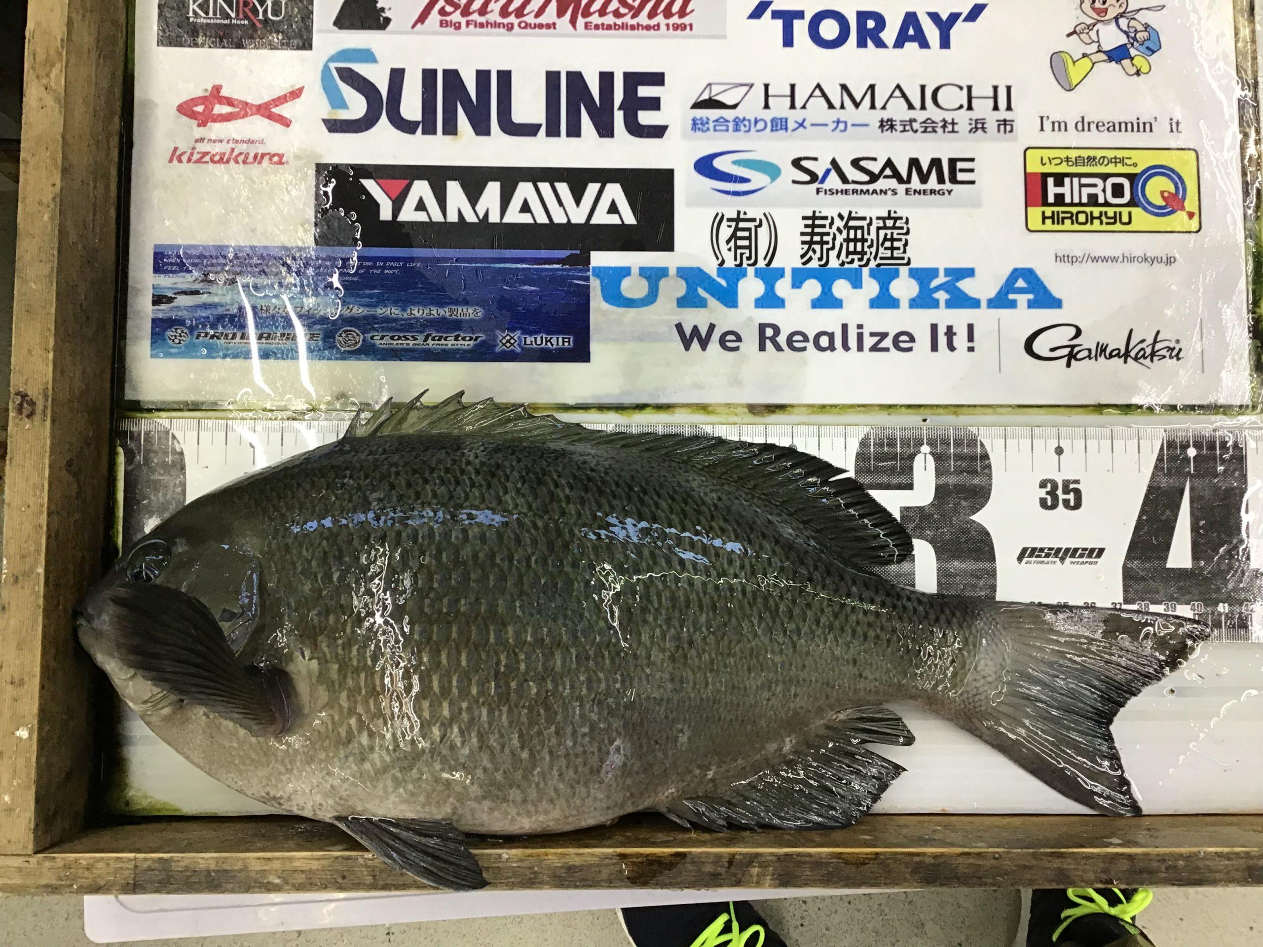 1/30 せいみょん様 第2回グレダービー2020釣果(串本地磯)40.6cm