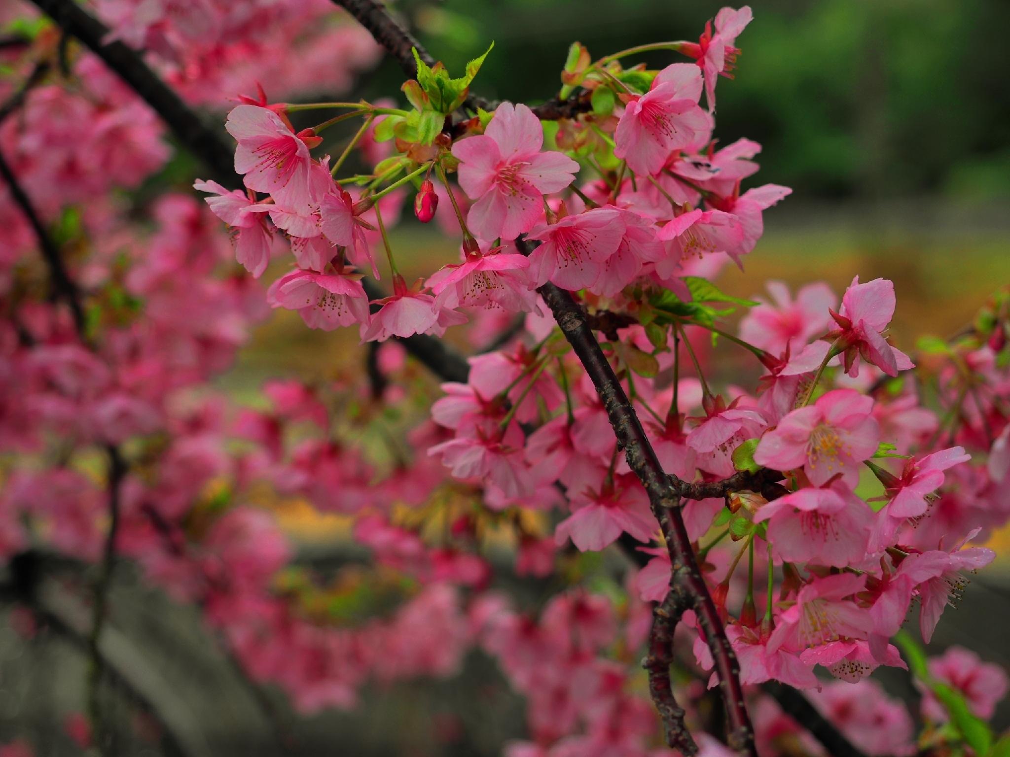 桜満開🌸白浜店