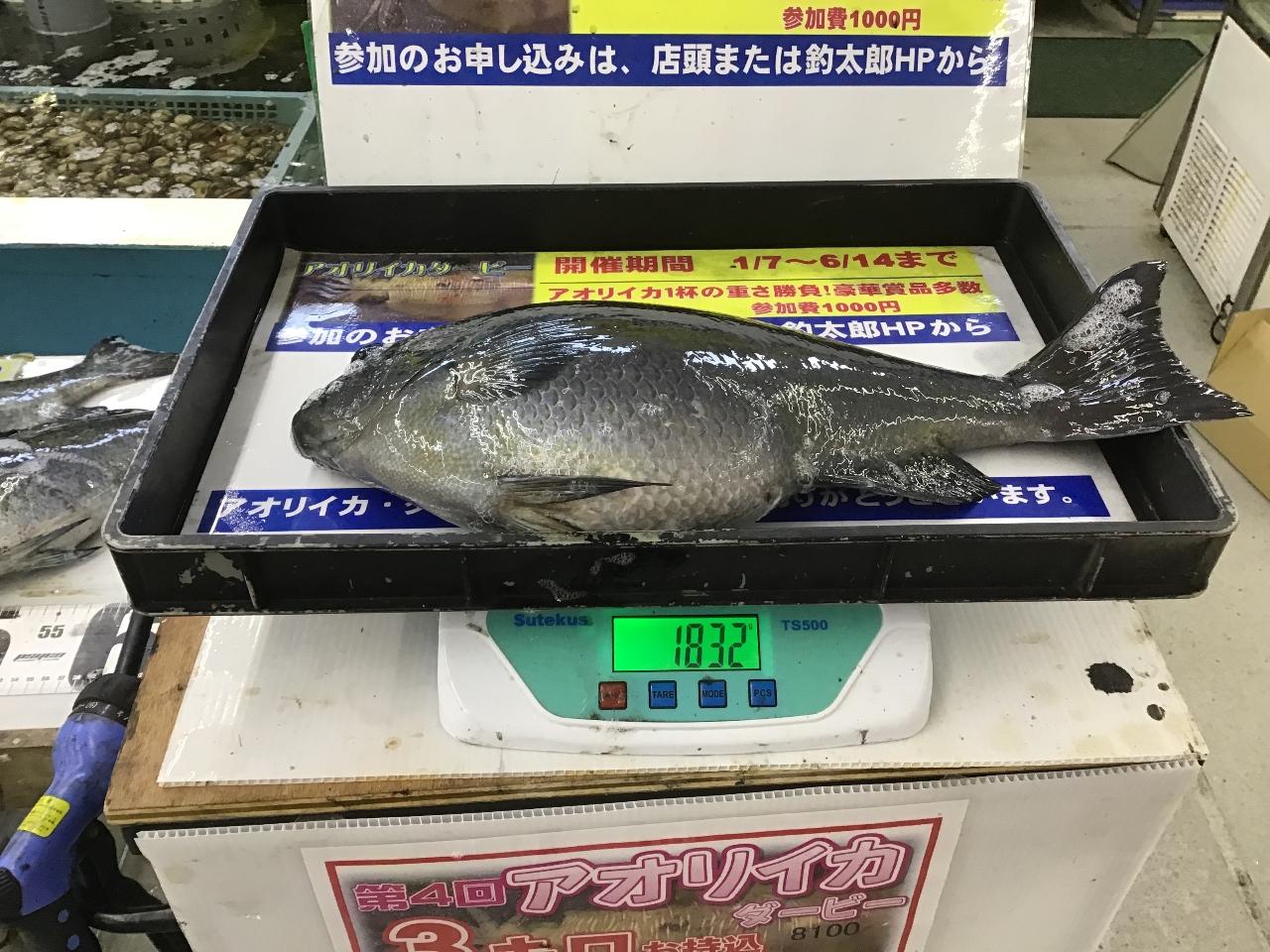 3/12 口和深の磯でグレ44cm1.8キロ含む5枚の良型揃いの釣果