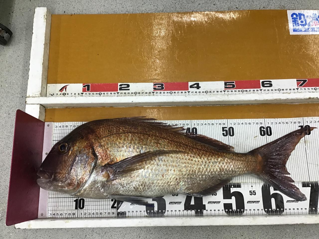 3/20   バード 様 真鯛持ち込み釣果(見老津堤防)73.5cm