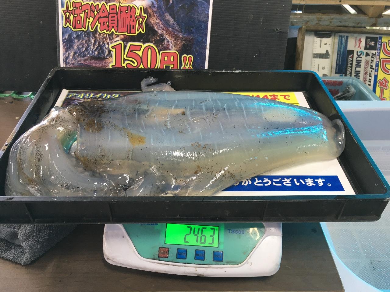 4/25 INV様 アオリイカ釣果(白浜地磯)2463g