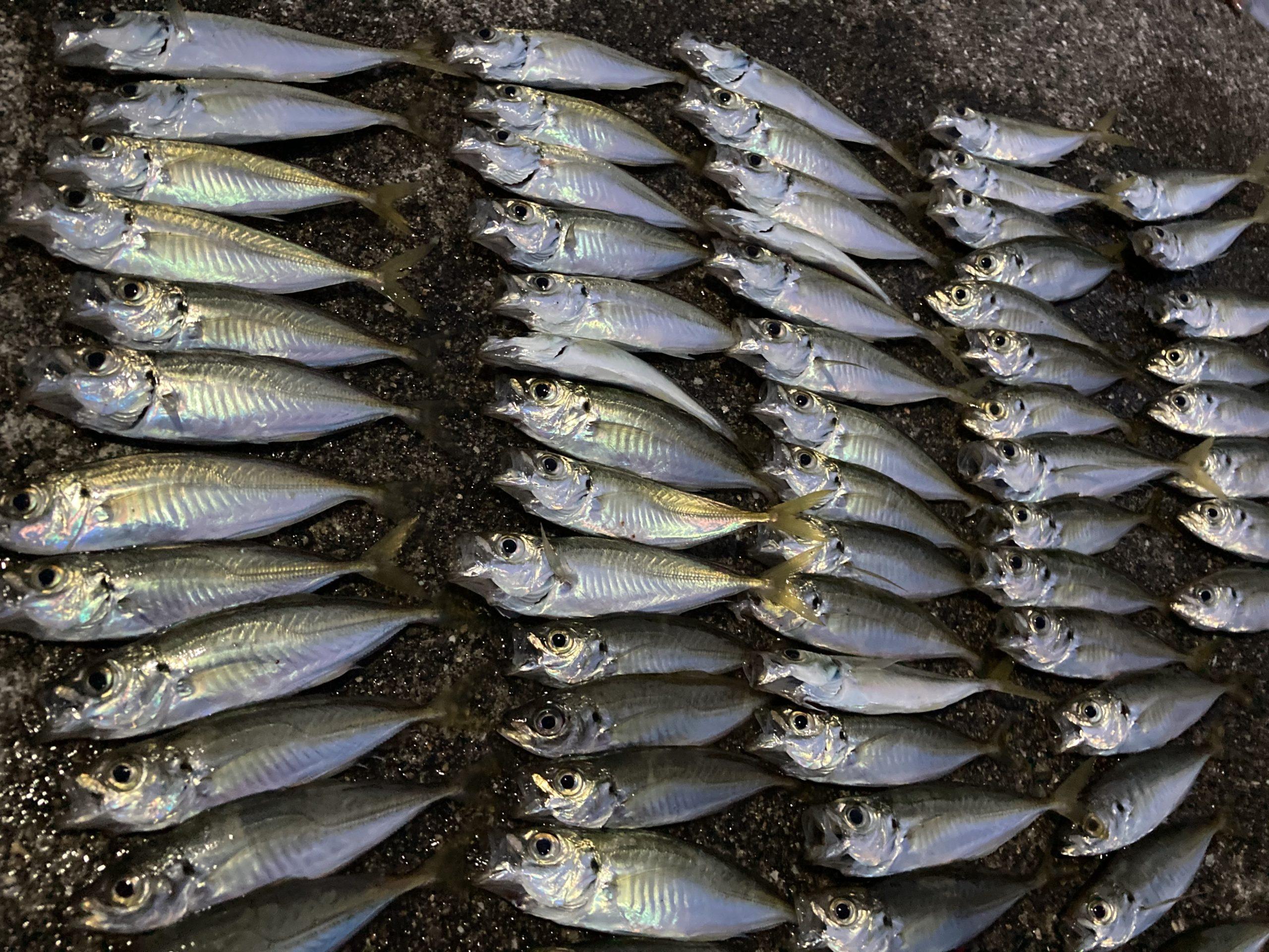 マアジの生態 特徴 釣り方