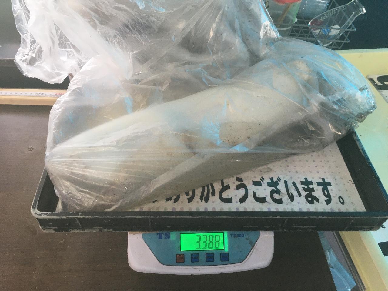 5/8  持ち込み釣果情報 天神崎で3.3kg!