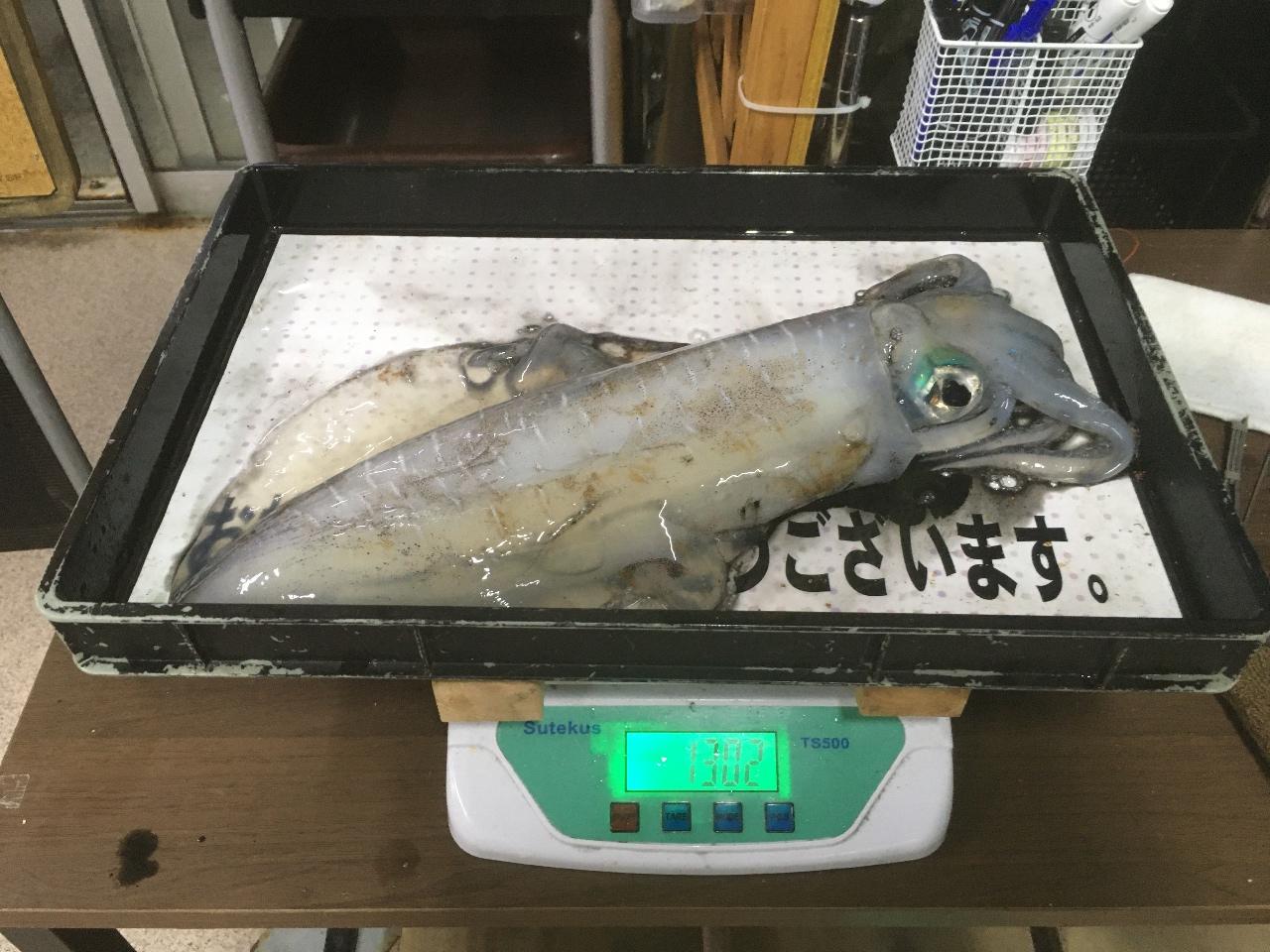 5/14 堺漁港でアオリイカ釣果情報