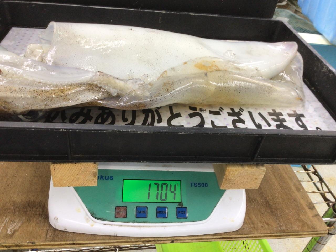 5/15  持ち込み釣果情報 アオリイカ1.7kg と800g  白浜地磯