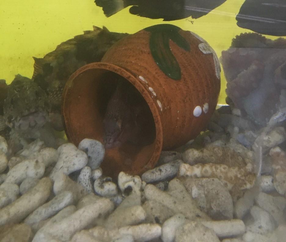 蛸壺を占領しているベラ
