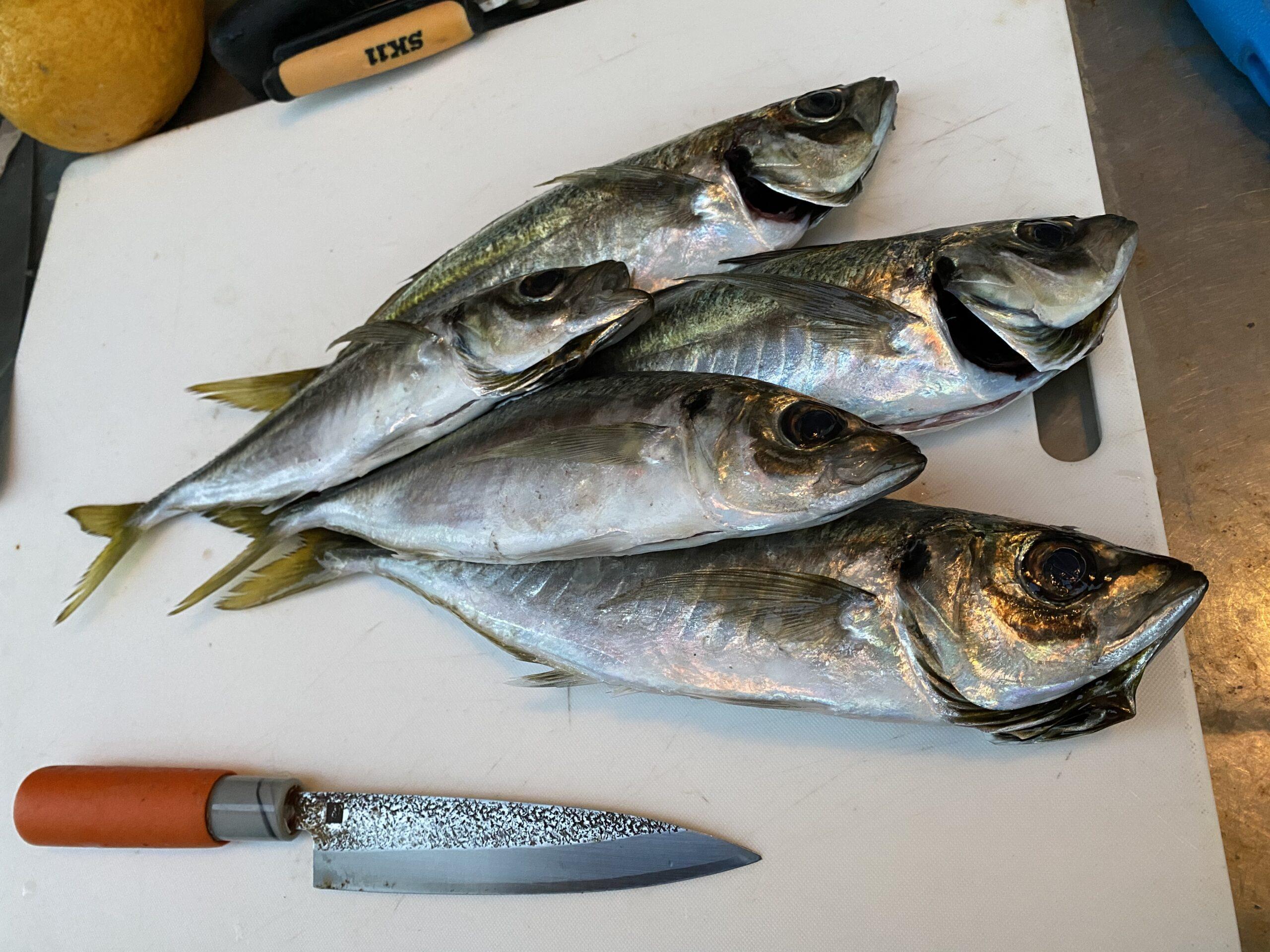 釣った魚はおいしく食べたい! 魚の熟成編!