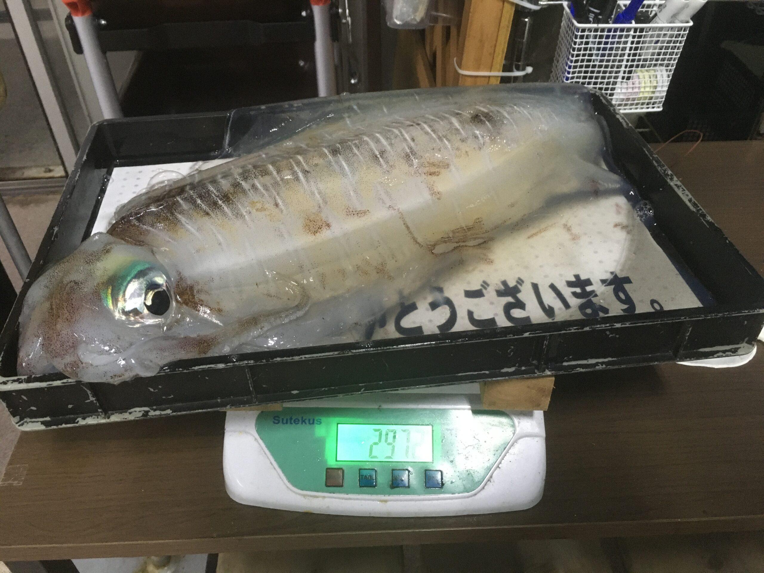 今はエギングがアツい!? 白浜地磯で3キロ目前のアオリイカを釣られたようです!