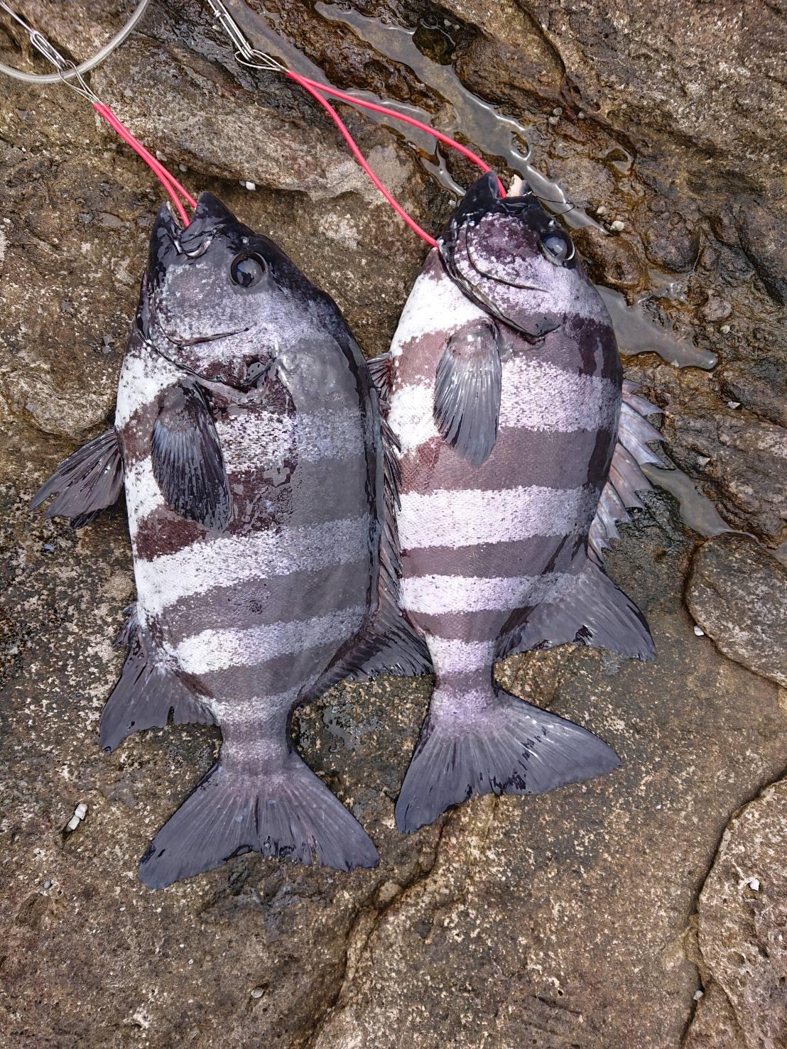 5/8 石鯛釣れてます!ナガレコとウニで日置沖磯