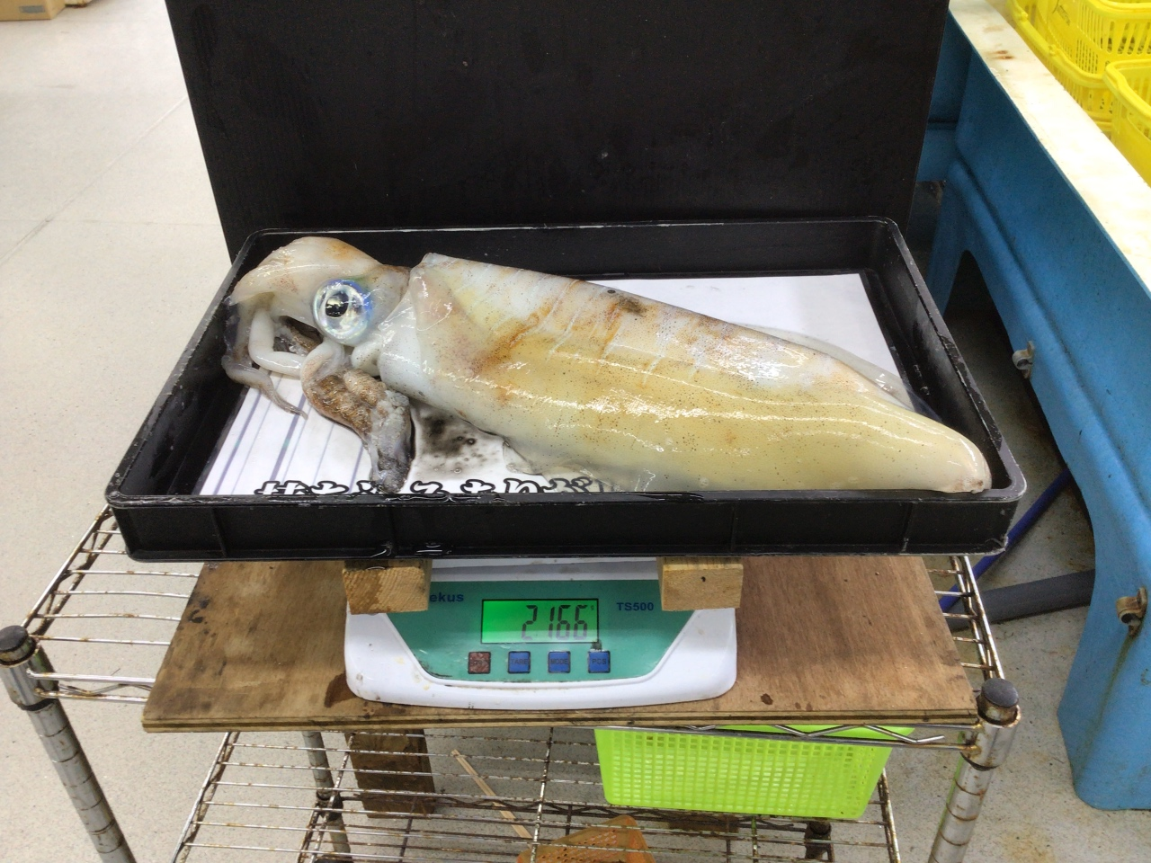 6/7 持ち込み釣果情報 日置地磯でアオリイカ2.1kg