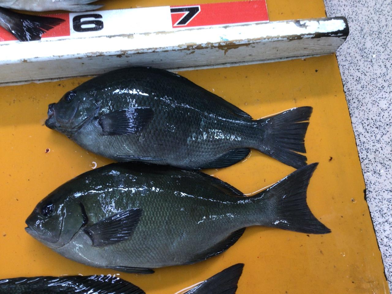 この魚の違い分かりますか? 同じように見えますが別種類の魚です。