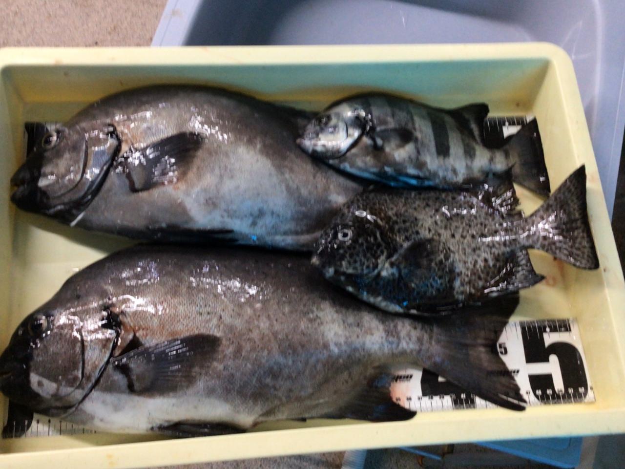 9/22 名人K氏 イシダイ ~53cmまで3匹、イシガキの釣果