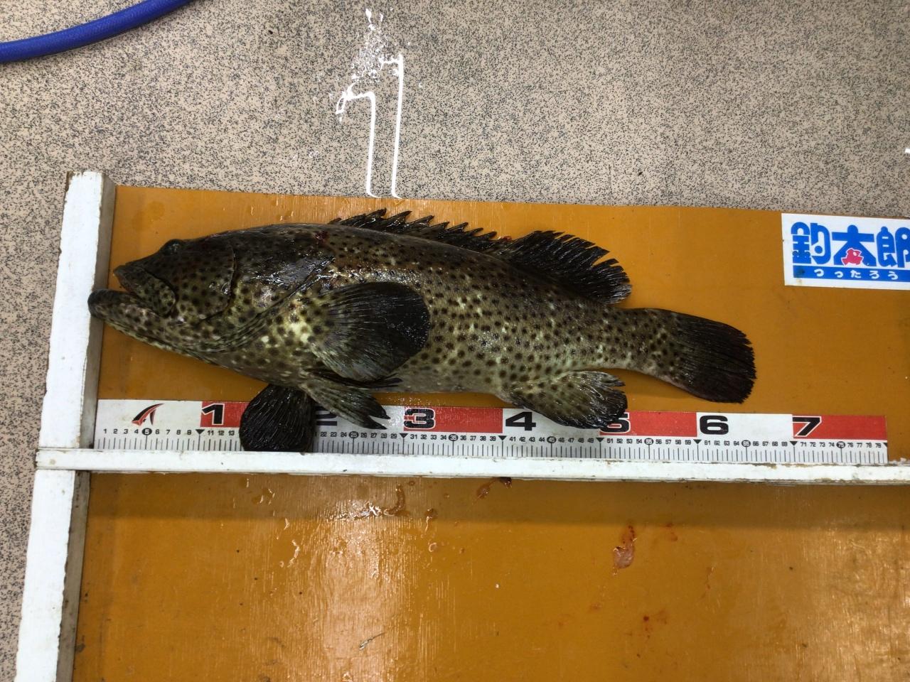 9/22 串本の波止でヤイトハタ66cm 4.5キロの釣果 ぶっこみ釣り・イワシ