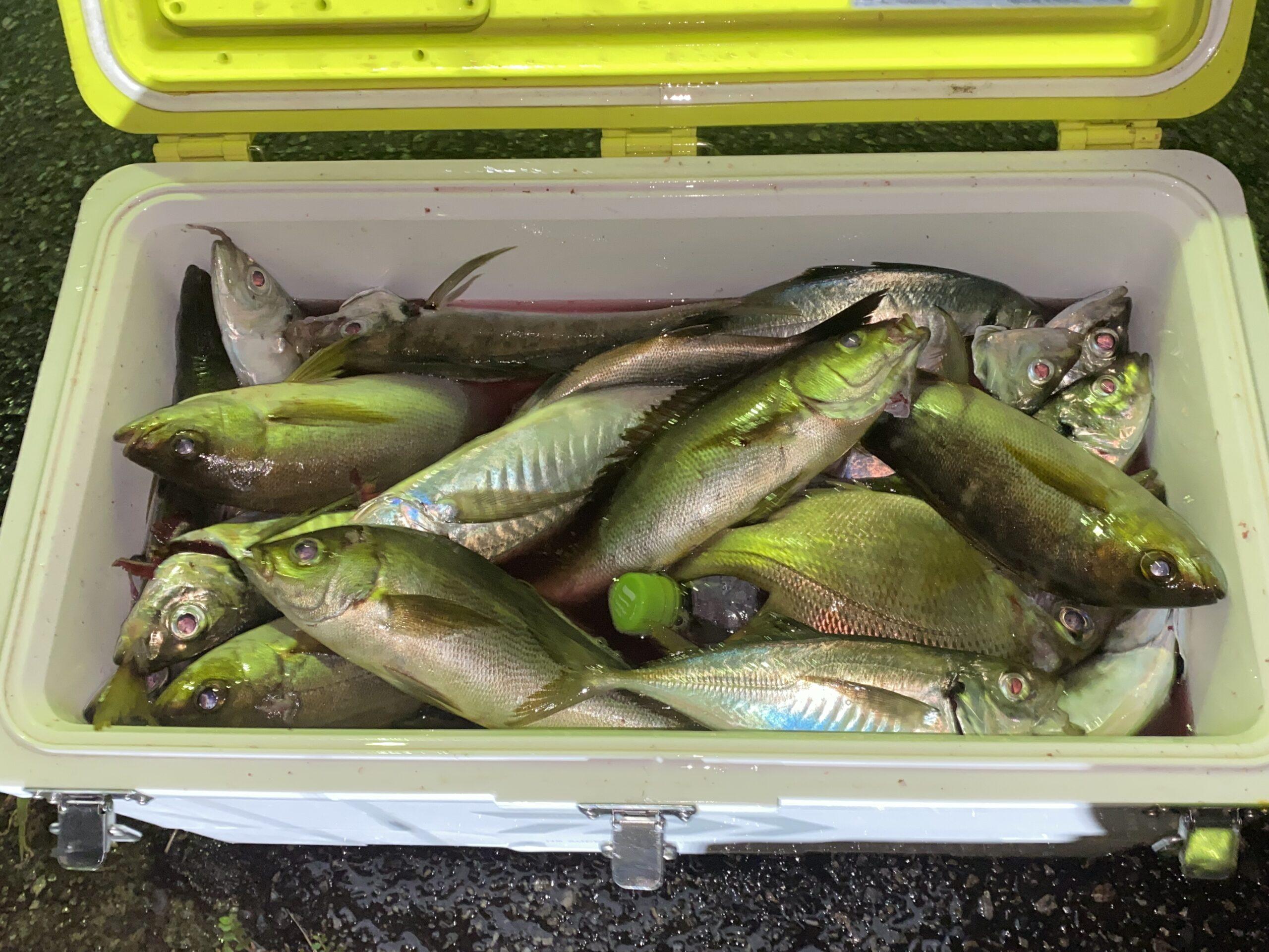 大量に釣ったアジ、メイチダイのお造り! 釣った初日でもアジはおいしい!