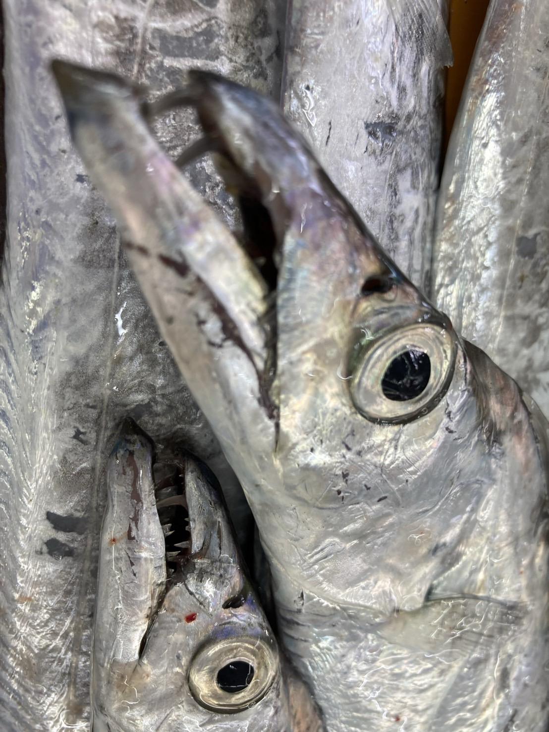 タチウオは田辺芳養堤防で釣れているようです。